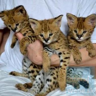 mačiatka savannah pre nový domov